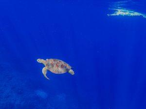 船浮のアオウミガメ
