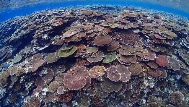 鳩間島リーフのテーブルサンゴ