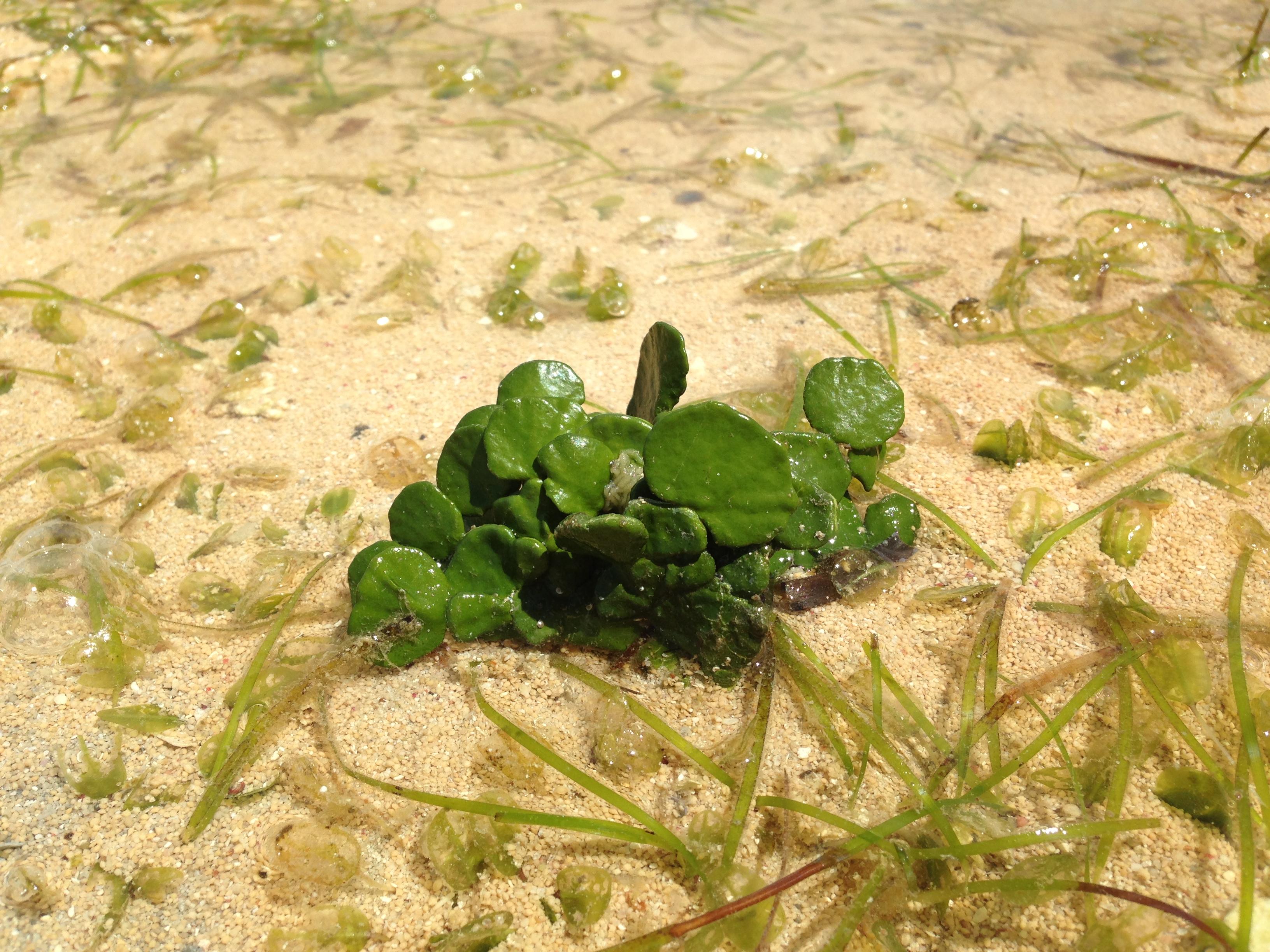サボテンみたいな海草