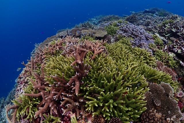 鳩間島リーフエダサンゴ